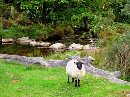 sheep along East Okement