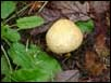 puffball-like  fungus