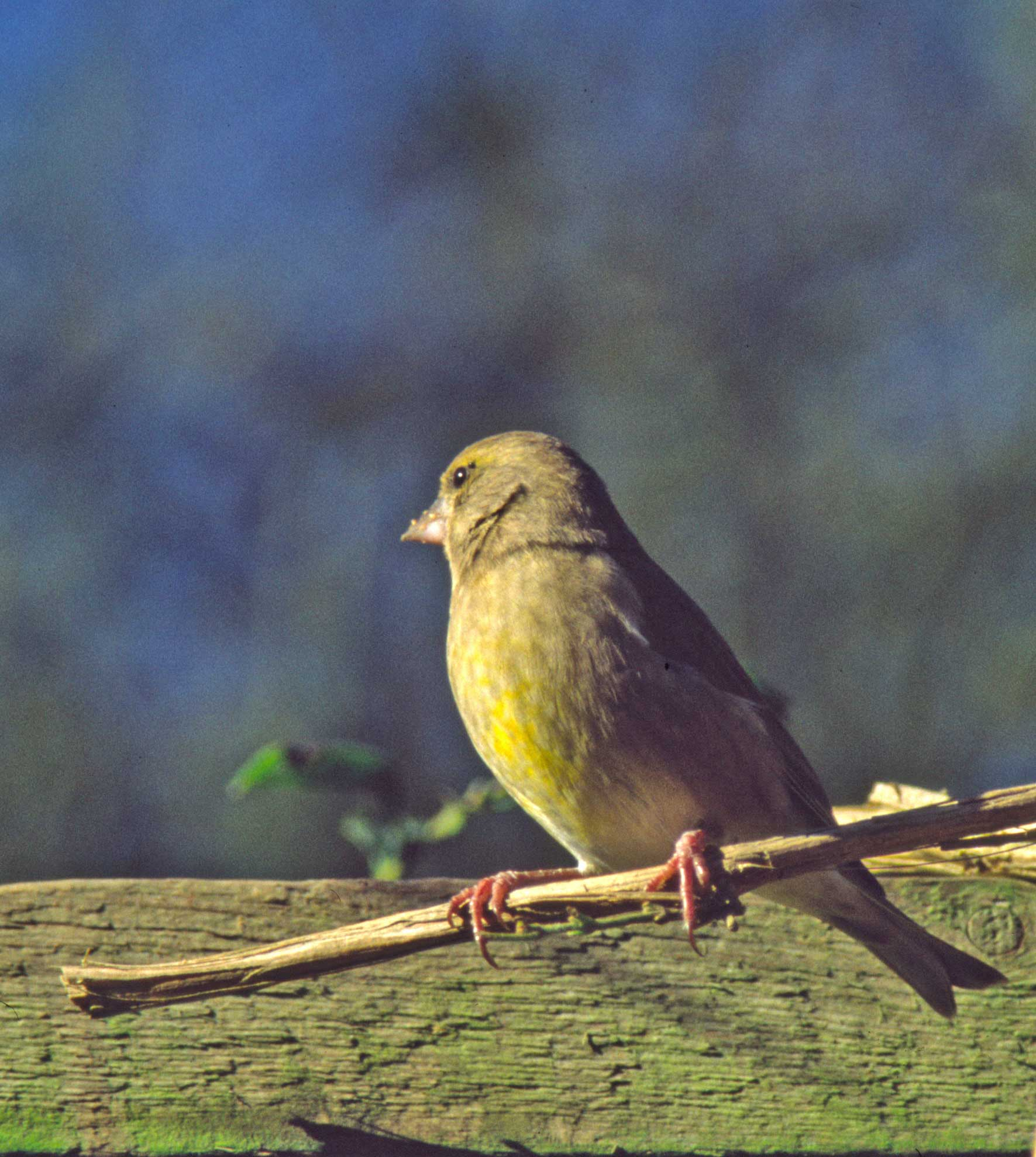 greenfinch perching